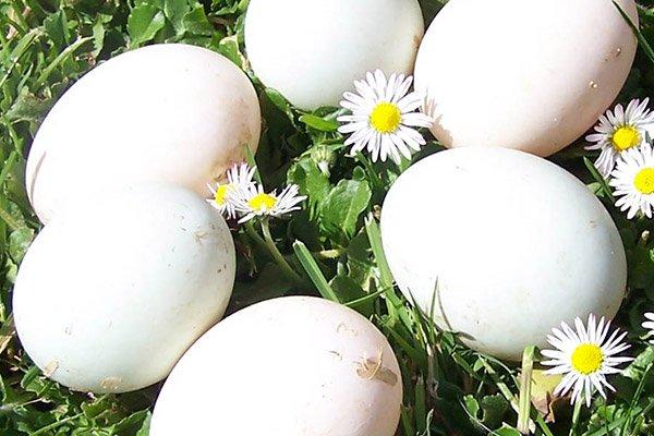 Half Dozen Duck Eggs